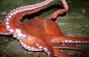 Seattle Aquariumj: Giant Pacific Octopus