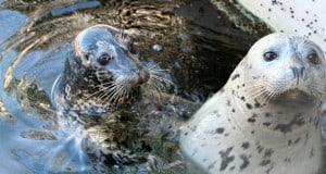 Seattle Aquarium: Focas