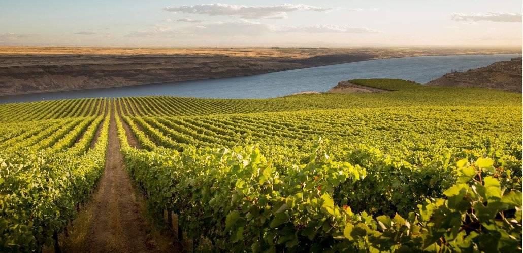 Vinha Riesling do Columbia Valley, WA - EUA (fonte: Pacific Rim Winemakers)